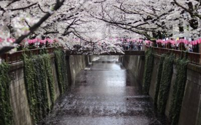 A Luxury Cherry Blossom Tour: What's it like?